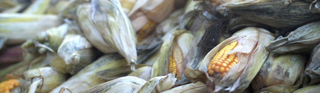 Maçarocas de milho